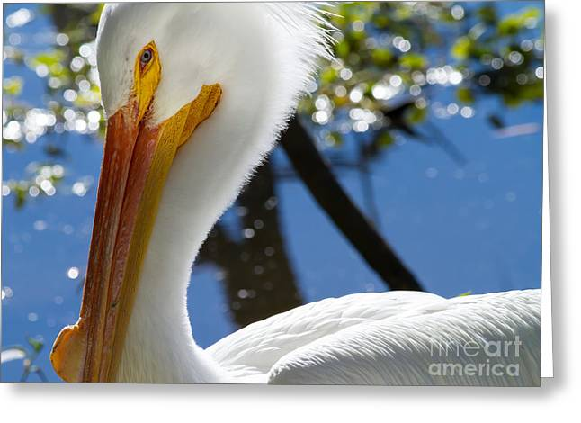 Big Birds Greeting Cards - White Pelican 7D9132 Greeting Card by Wingsdomain Art and Photography