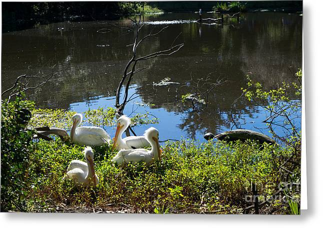 Big Birds Greeting Cards - White Pelican DSC2932 Greeting Card by Wingsdomain Art and Photography