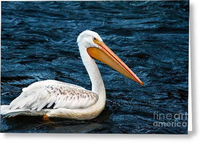 American White Pelican (pelecanus Erythrorhynchos) Greeting Cards - White Pelican Portrait Greeting Card by Robert Bales