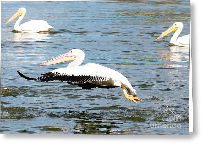 Flying White Pelicans Greeting Cards - White Pelican Takeoff Greeting Card by Carol Groenen