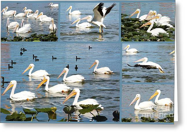Bird Collage Greeting Cards - White Pelicans Collage Greeting Card by Carol Groenen