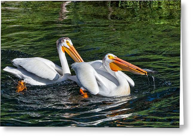 Rainbow Trout Greeting Cards - White Pelicans Fishing for Trout Greeting Card by Kathleen Bishop