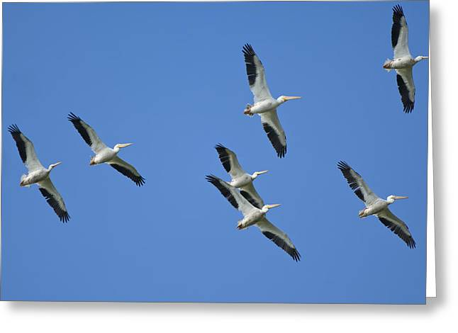 Flying White Pelicans Greeting Cards - White Pelicans in Flight 1 Greeting Card by Patrick M Lynch
