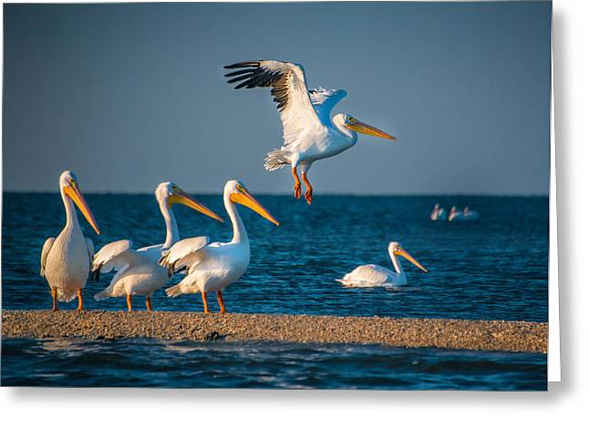 Flock Of Flying White Pelicans Greeting Cards - White Pelicans in Florida - 2 Greeting Card by Gloria Matyszyk