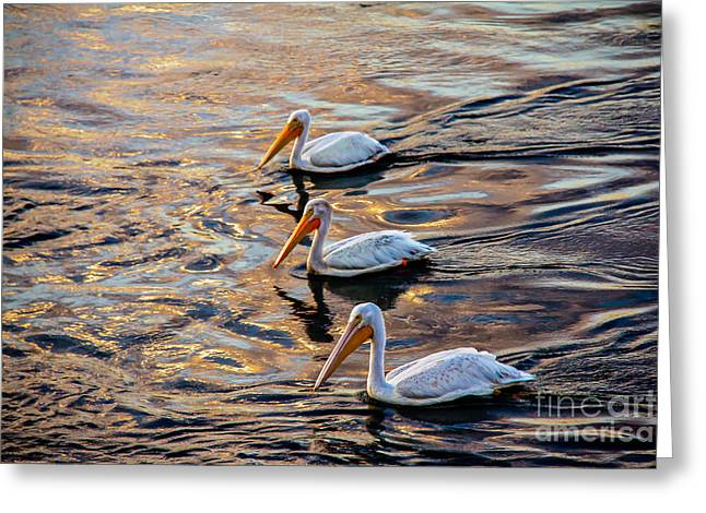Haybale Greeting Cards - White Pelicans  In Golden Water Greeting Card by Robert Bales