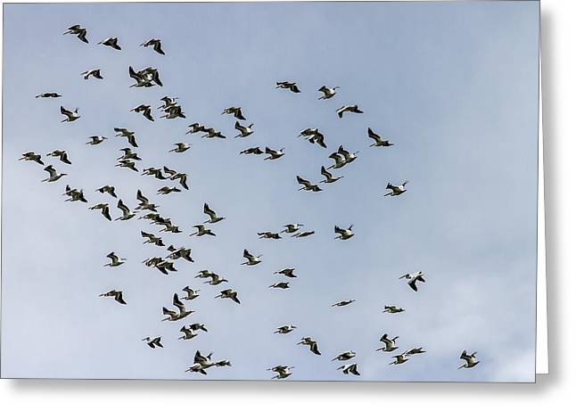 Flock Of Flying White Pelicans Greeting Cards - White Pelicans Greeting Card by Jeff Donald