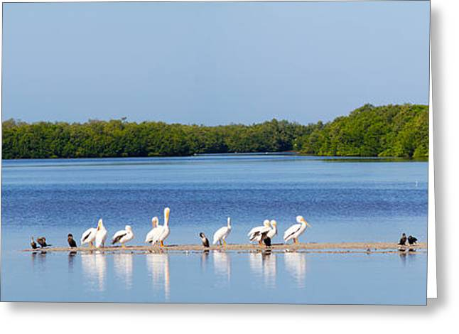 Florida Gulf Coast Greeting Cards - White Pelicans On Sanibel Island Greeting Card by Panoramic Images