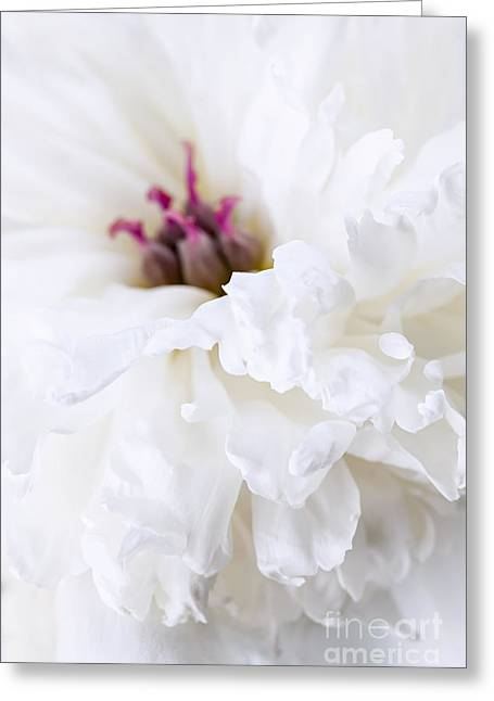 Layers Greeting Cards - White peony flower close up Greeting Card by Elena Elisseeva
