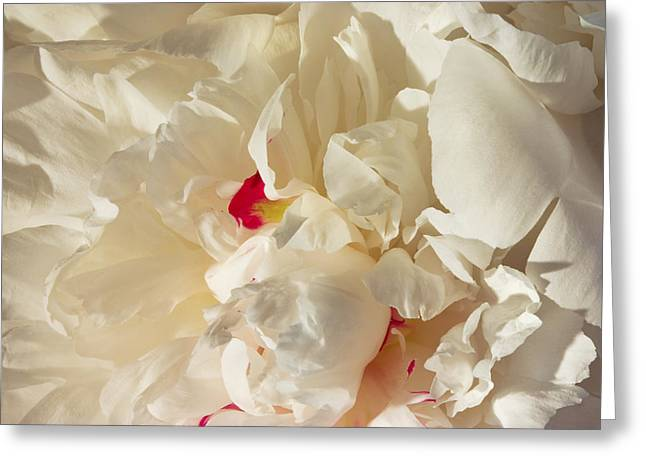 Flower Close-up Greeting Cards - White Peony Flower Greeting Card by Keith Webber Jr
