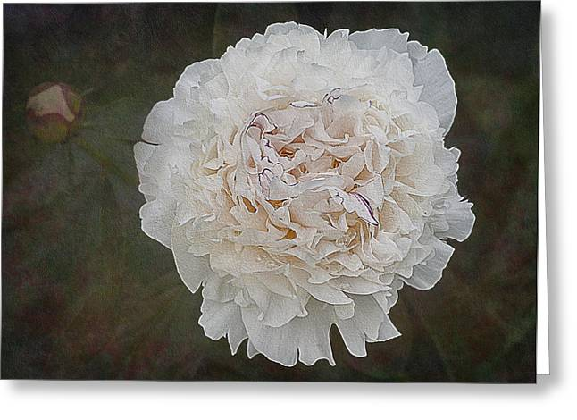 Water Drop Greeting Cards - White Peony Greeting Card by Susan Candelario