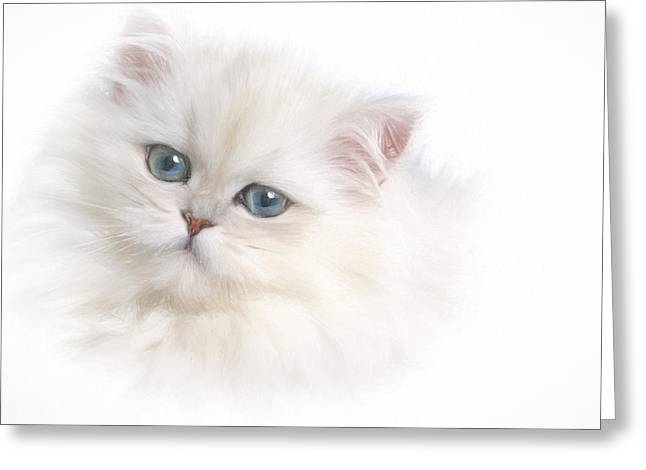 Cat Companions Greeting Cards - White Persian Kitten Greeting Card by David and Carol Kelly