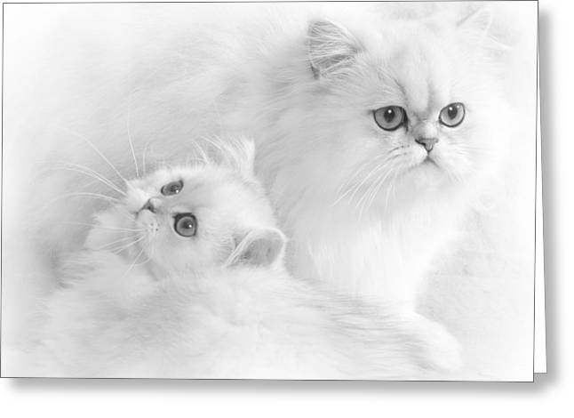 Breeds Greeting Cards - White Persians Greeting Card by David and Carol Kelly