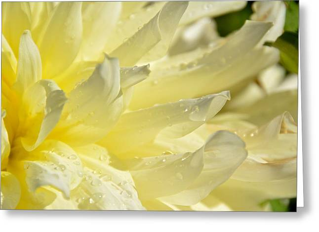 Pointy Petals Greeting Cards - White Petals with Dew Greeting Card by Rachel Cash
