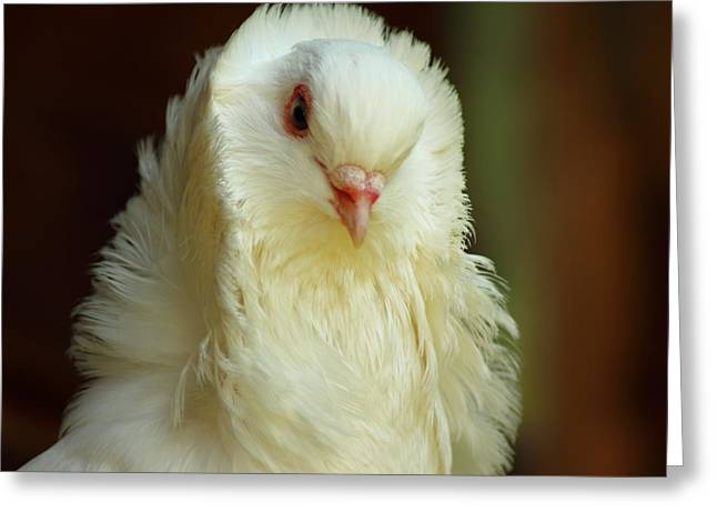 Livia Greeting Cards - White Pigeon Greeting Card by Robert Boss