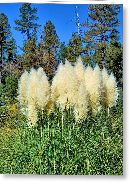 Pompus Greeting Cards - White Pompus Grass Greeting Card by Richard Jenkins