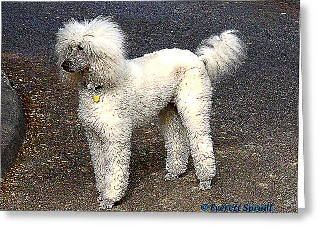 Everett Spruill Photographs Greeting Cards - White Poodle Greeting Card by Everett Spruill