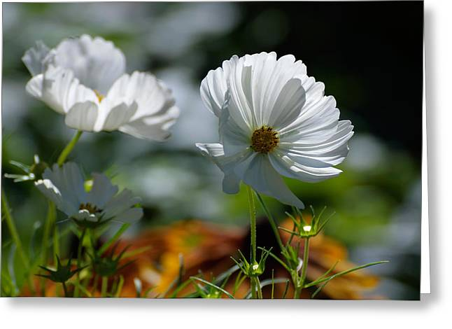 Sunlight On Flowers Greeting Cards - White Poppies in Sunlight Greeting Card by Jocelyn Ball