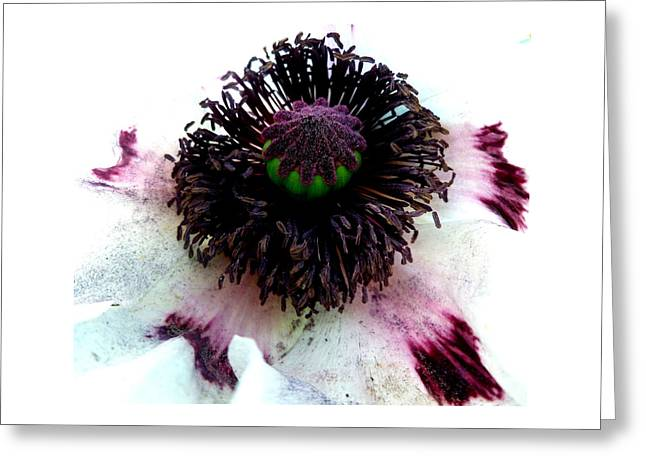 White Poppy Macro Greeting Card by The Creative Minds Art and Photography