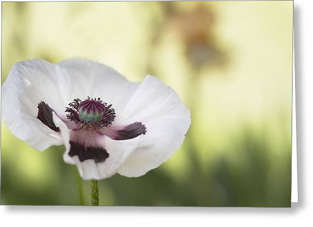 Flower Center Greeting Cards - White Poppy Greeting Card by Rebecca Cozart