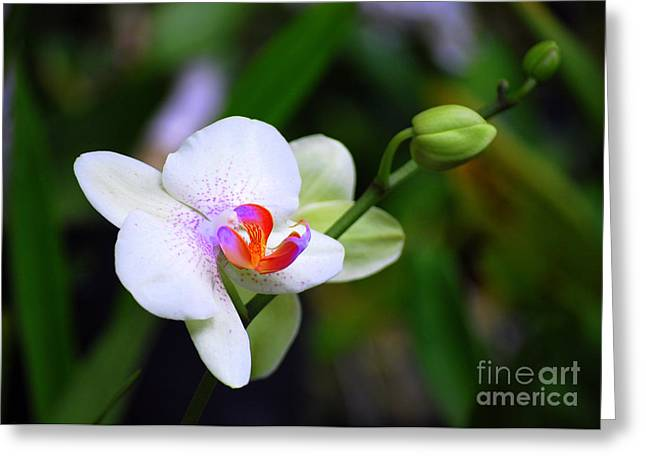 Catherine White Greeting Cards - White Purple and Orange Phalaenopsis Orchid Greeting Card by Catherine Sherman