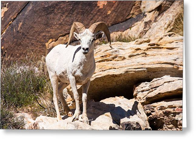 Southwest Wildlife Greeting Cards - White Ram Greeting Card by James Marvin Phelps