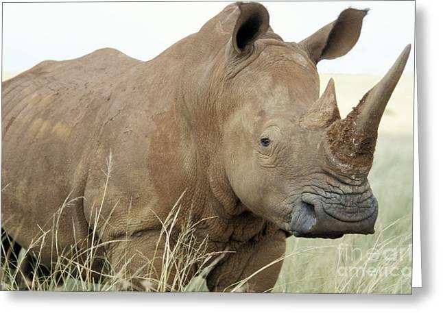 Rhinoceros Greeting Cards - White Rhino Greeting Card by Mark Newman