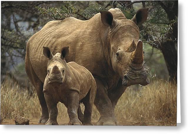 Rhinocerotidae Greeting Cards - White Rhinoceros And Baby Lewa Kenya Greeting Card by Gerry Ellis