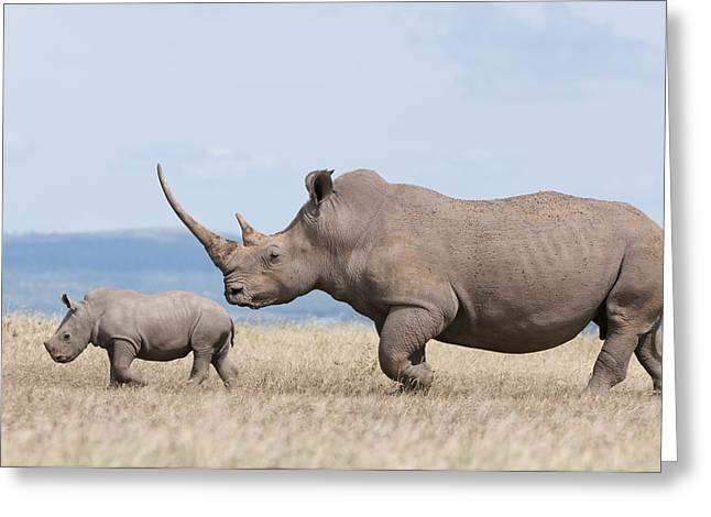 White Rhinoceros And Calf  Kenya Greeting Card by Tui De Roy