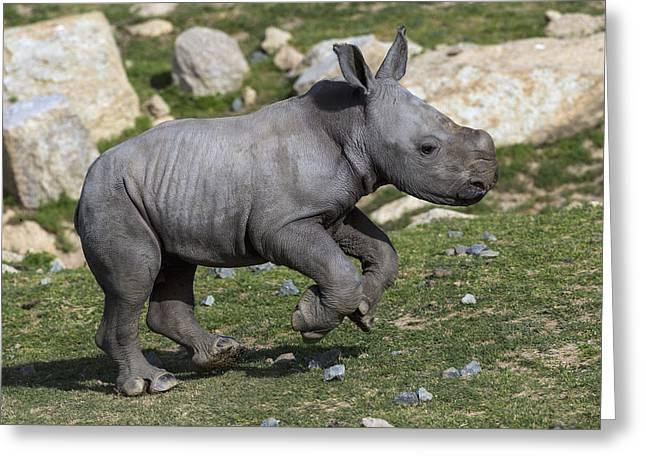 Rhinocerotidae Greeting Cards - White Rhinoceros Calf Running Greeting Card by San Diego Zoo