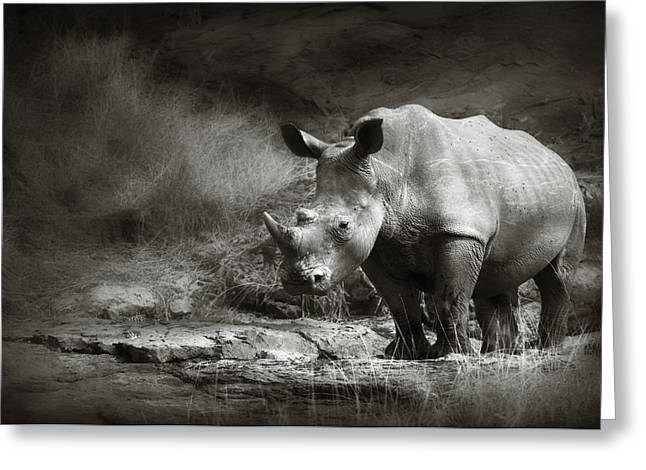 Rhinos Greeting Cards - White Rhinoceros Greeting Card by Johan Swanepoel