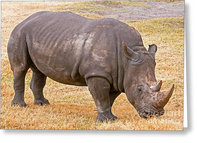 Rhinocerotidae Greeting Cards - White Rhinoceros Greeting Card by Millard H. Sharp