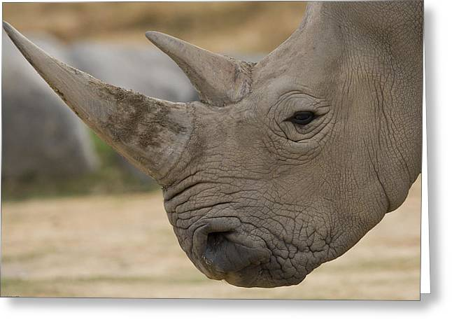 Rhinocerotidae Greeting Cards - White Rhinoceros Portrait Greeting Card by San Diego Zoo