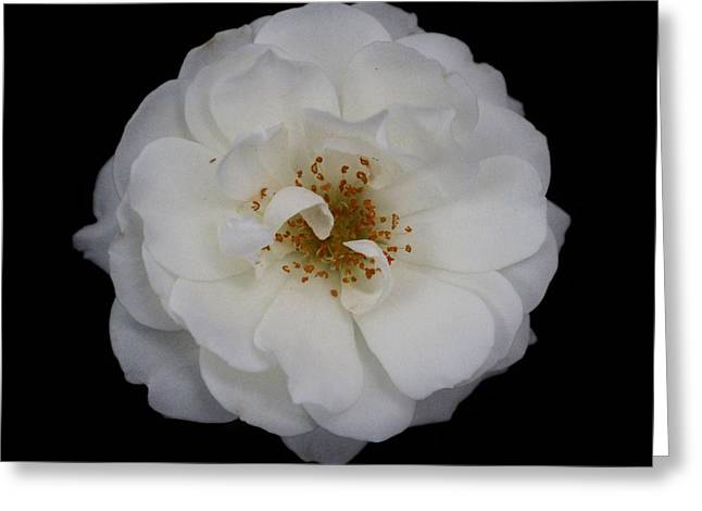 White Rose 2 Greeting Card by Carol Welsh