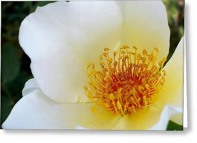 Macro Art In Nature Greeting Cards - White Rose 2 Greeting Card by Kaye Menner