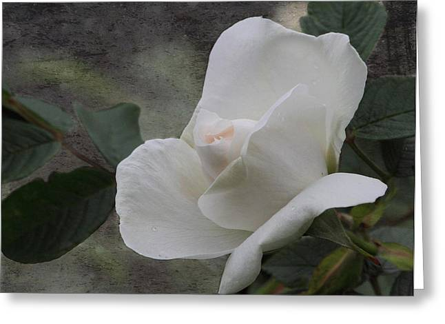 Texture Floral Greeting Cards - White Rose Greeting Card by Angie Vogel