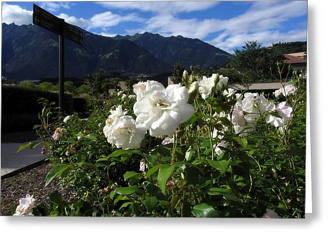 Wildlife Celebration Greeting Cards - White rose blooms on a mountain background Greeting Card by Luca Marchi