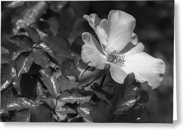 Power Plants Greeting Cards - White Rose Greeting Card by Bryant Coffey