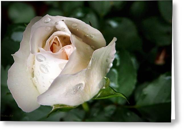 Wet Rose Greeting Cards - White Rose Greeting Card by Christina Rollo