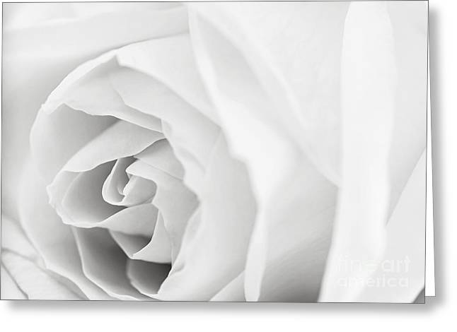 Gentleness Greeting Cards - White rose Greeting Card by Elena Elisseeva