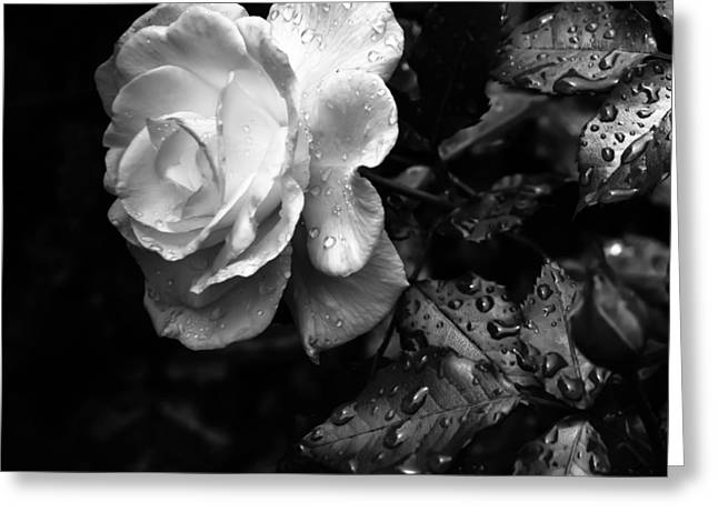 White On Black Greeting Cards - White Rose Full Bloom Greeting Card by Darryl Dalton