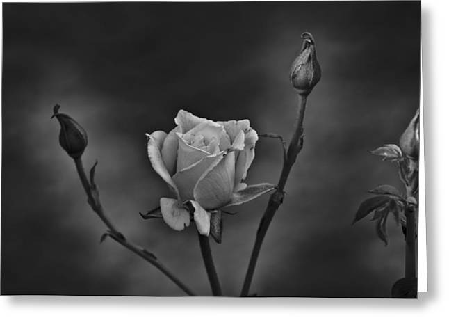 Rose Highlights Greeting Cards - White Rose highlighted in Black and White Greeting Card by Robert Estes