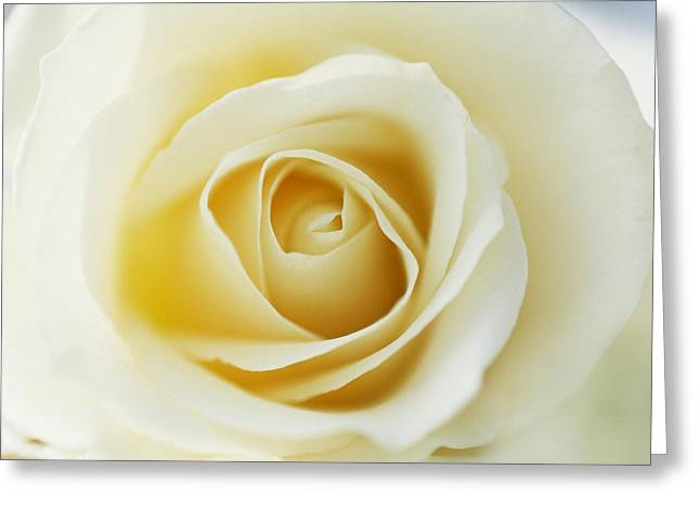 Jan Vermeer Photographs Greeting Cards - White Rose In Bloom Greeting Card by Jan Vermeer