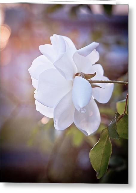 Knock Out Greeting Cards - White Rose in Light Greeting Card by Linda Unger