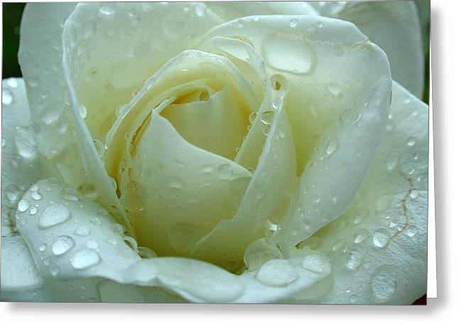 White Rose Greeting Card by Juergen Roth