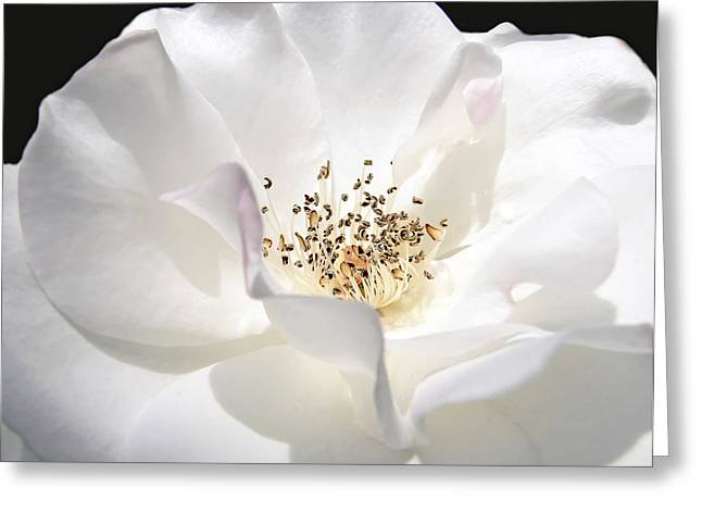 Ivory Roses Greeting Cards - White Rose Petals Greeting Card by Jennie Marie Schell