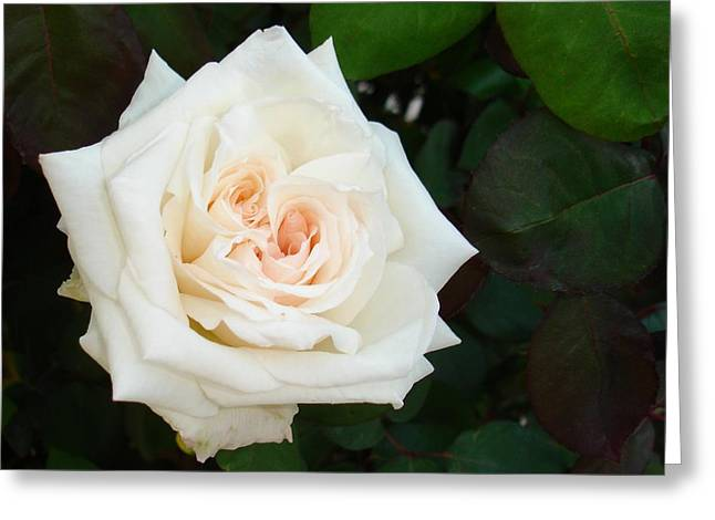 Divorce Greeting Cards - White Rose With Natural Garden Background  Greeting Card by Tracey Harrington-Simpson