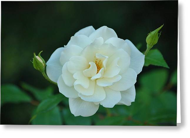 White Rose With Two Buds Greeting Card by Linda Brody