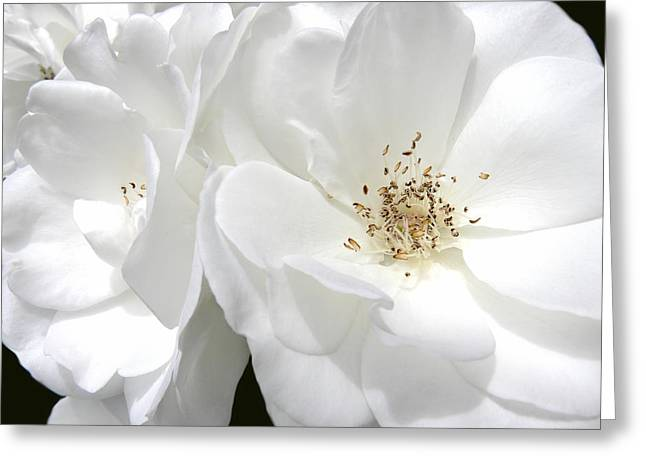 Ivory Roses Greeting Cards - White Roses Macro Greeting Card by Jennie Marie Schell