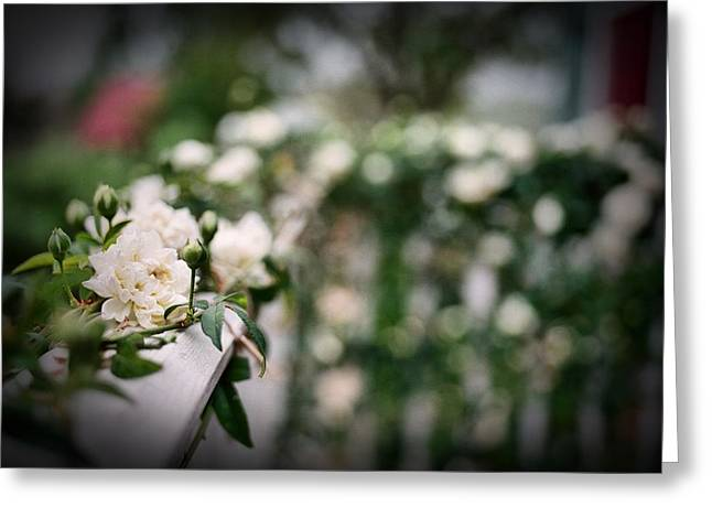 Medium Flowers Greeting Cards - White Roses Greeting Card by Linda Unger