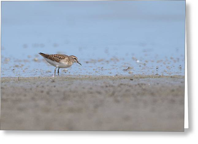 Rumpled Greeting Cards - White Rumped Sandpiper Greeting Card by Ward McGinnis